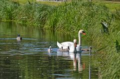 Swans with your fledglings Stock Photo