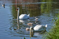 Swans with your fledglings Stock Photos