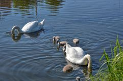 Swans with your fledglings Stock Images