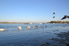 Swans in Zemun, Srbija. A flock of swans is floating on the Danube river in Zemun, Serbia. Zemun is close to Belgrade and in-cooperated in it. The swans are royalty free stock photo