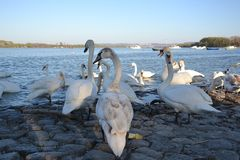 Swans in Zemun, Srbija. A flock of swans is floating on the Danube river in Zemun, Serbia. Zemun is close to Belgrade and in-cooperated in it. The swans are stock images