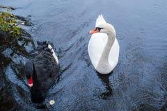 swans Zwart-witte zwanen samen Twee paren vogels stock afbeeldingen