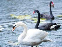 swans Zwart-witte zwanen samen Twee paren vogels royalty-vrije stock afbeelding