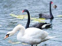 swans Zwart-witte zwanen samen Twee paren vogels stock fotografie