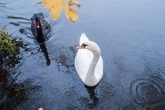 swans Zwart-witte zwanen samen Twee paren vogels stock foto