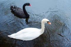 swans Zwart-witte zwanen samen Twee paren vogels royalty-vrije stock fotografie