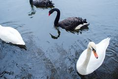 swans Zwart-witte zwanen samen Twee paren vogels royalty-vrije stock afbeeldingen