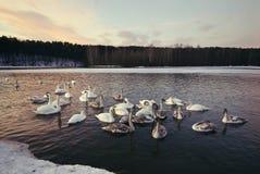 Swansbad och bor i vintern Royaltyfri Bild