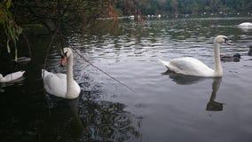 Swansea svanar fotografering för bildbyråer