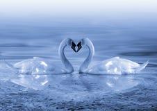 Swansförälskelse Fotografering för Bildbyråer