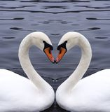 Swanshjärta Royaltyfri Bild
