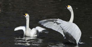 swansimningwhite Arkivfoto