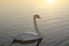 swanvatten Royaltyfri Fotografi