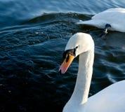 swanvatten arkivbilder