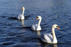 Swanvoy. A convoy of swans Royalty Free Stock Images