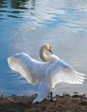swanwhite Royaltyfri Fotografi