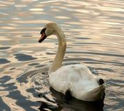 swanwhite Royaltyfria Bilder