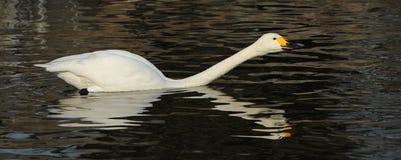 swanwhite Royaltyfria Foton
