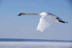swanwhite Arkivbilder