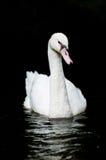 swanwhite Royaltyfri Foto