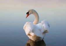 swanwhite Royaltyfri Bild
