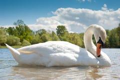 swanwhite Fotografering för Bildbyråer