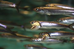 Swarm. Of fishes filtering the water Royalty Free Stock Photos