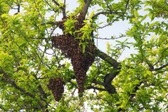 Swarm. Of bees on a peach tree Stock Photos
