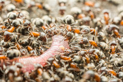 Swarm Of Ant Colony Eating Earthworm Royalty Free Stock Photography