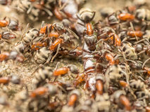 Swarm Of Ants Eating Giant Centipede Stock Photo