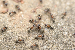 Swarm Of Ants Fights For Food Stock Image