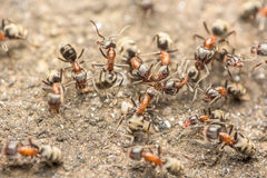 Swarm Of Ants Fights For Food Macro Royalty Free Stock Images