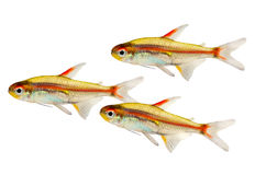 Swarm of Aquarium fish Glowlight Tetra Hemigrammus erythrozonus freshwater Royalty Free Stock Photography