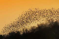 Swarm of Bats Stock Image
