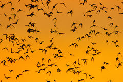 Swarm of Bats Stock Photos