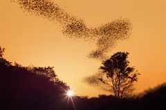 Swarm of bats  on sunset Royalty Free Stock Photos