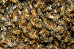 Swarm of bees Stock Images