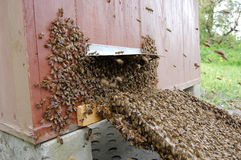 A swarm of bees Stock Images