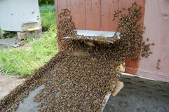 A swarm of bees Stock Photo
