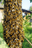A swarm of bees. On the tree Stock Photography