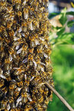 A swarm of bees. On the tree Stock Photos