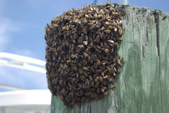 Swarm of bees. A small group of bees on a piling Stock Photos