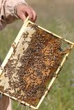 Swarm of bees stock photography