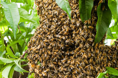 Swarm Of Bees Building Hive macro shot Royalty Free Stock Images