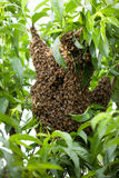 Swarm Of Bees Building Hive in a peach tree Stock Photos