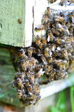 A swarm  of bees at the entrance of beehive in apiary Royalty Free Stock Image