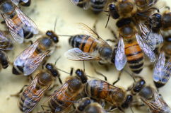 A swarm  of bees at the entrance of beehive in apiary Stock Photo
