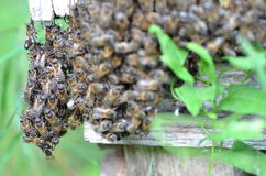 A swarm  of bees at the entrance of beehive in apiary Royalty Free Stock Photo