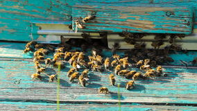 Swarm of bees at the entrance to the hive, motion stock video
