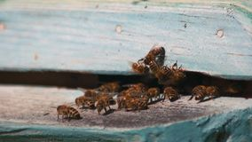 Swarm of bees fly into a hive close up. stock video